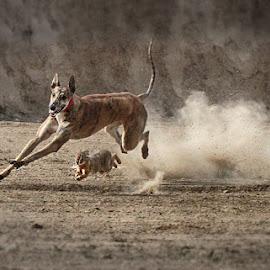 Race by Abdul Rehman - Animals - Dogs Running ( rabbit, pakistan, dust, greyhound, culture,  )