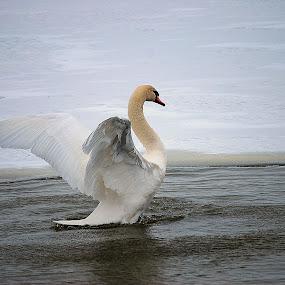 winter bath by Tim Hauser - Animals Birds ( bird, winter, nature, bath, swan,  )