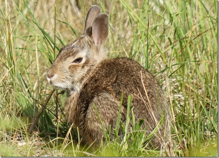 anacortes baby cottontail 061715 00001
