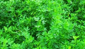 Manfaat Tanaman Obat Alfalfa yang Berkhasiat Mujarab