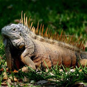 Belize Iguana by Bill Bettilyon - Animals Reptiles