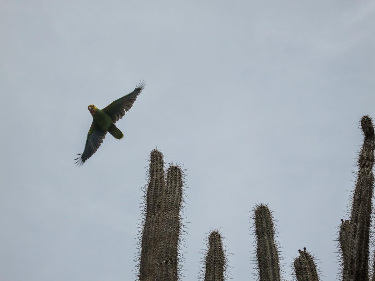 Yellow-Shoulder Parrot