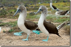 z blue footed booby