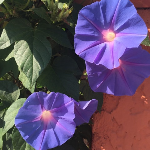 flowers-nature-colors-periwinkle
