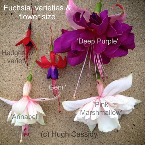 Fuchsia flower sizes in this photo you can see ive placed five flowers the smallest is typical of the hedgerow type fuchsia flower we come across although i cant mightylinksfo
