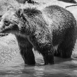 Brown Bear  by Julie Wooden - Animals Other Mammals ( bear, partly cloudy, b&w, north dakota, black and white, wildlife, dakota zoo, brown bear, zoo, nature, bismarck, outdoors, summer, animal,  )