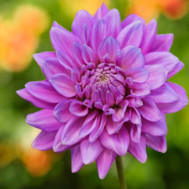 Purple Dahlia #9 by Jim Downey - Flowers Single Flower ( green, dahlia, yellow, purple, petals )