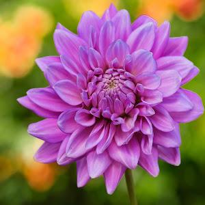 DAHLIA   purple   MUM 5-1.jpg