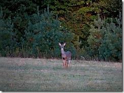 deer at Little Beaver St.Pk 023