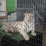A white tiger exhibit at the Navy Pier in Chicago 01152012c