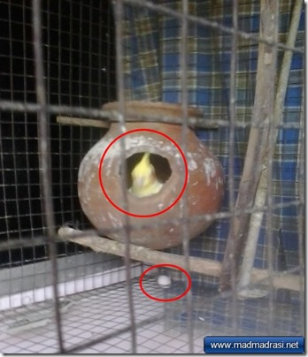 cockatiel-incubating-nest-pot-egg-outside-cage