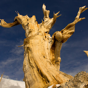 Ancient Bristlecone Pine by Tracey Dolan - Nature Up Close Trees & Bushes