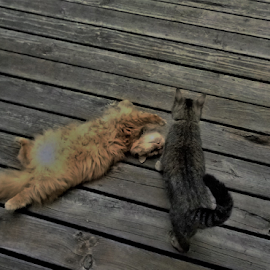 Let's Play by Liz Pascal - Animals - Cats Playing ( norweigan forest cat, cats at play, long and short haired cats, orange and brown cats, tabby cat, outdoor cats,  )