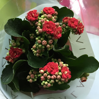 Red Kalanchoe from Holland