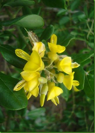 Sophora tomentosa (3)