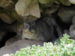 Rock hyrax (photo by Clare). They're the closest living relative of elephants!