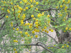 Acacia close-up 5/8