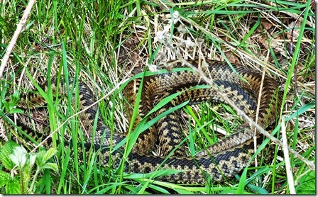 Two adders Cannock Chase May 2015