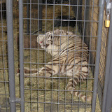 A white tiger exhibit at the Navy Pier in Chicago 01152012h