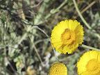 Desert Marigold & bug, 4/12