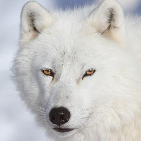 Arctic wolf by Mircea Costina - Animals Other Mammals ( mirceax, wild, canis, winter, canada, wolf, snow, wildlife, arctic, portrait )