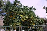 Fruitbomen langs de weg.