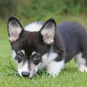Rommi by Mia Ikonen - Animals - Dogs Portraits ( canine, pet, pembroke welsh corgi, finland, summer, puppy, adorable, dog, expressive, cute, mia ikonen )