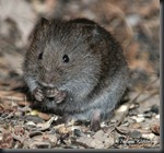 Meadow_voCute little Vole....don' ya just want to pet it?