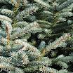 blue_spruce_foliage09.jpg