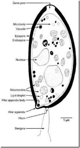 struktur basidiospora