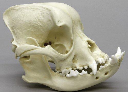 Lebka buldoka