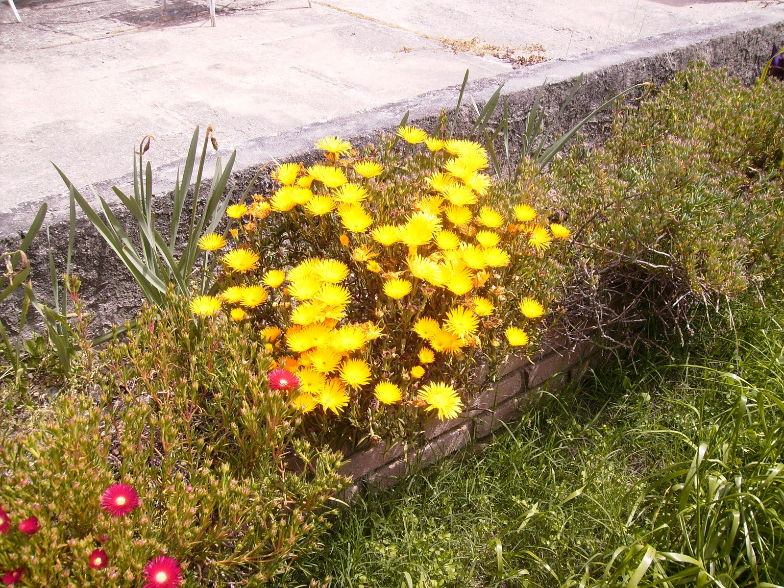 Rayitos de sol lampranthus plantas y flores - Plantas para jardineras al sol ...