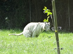 201506.21-071 tigre blanc