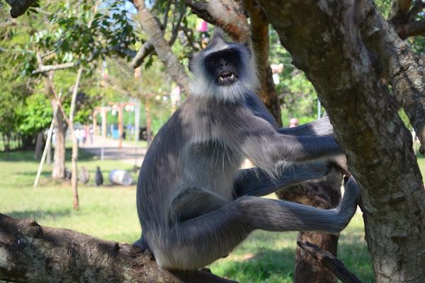 обезьяна скалится, гульман