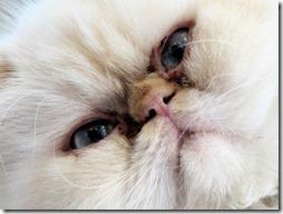 77- gatos blanco o crema (10)- buscoimagenes