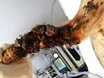 預定切除的患肢,長滿腫瘤