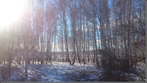 Bois de bouleaux en hiver - alentours d'Orlovka