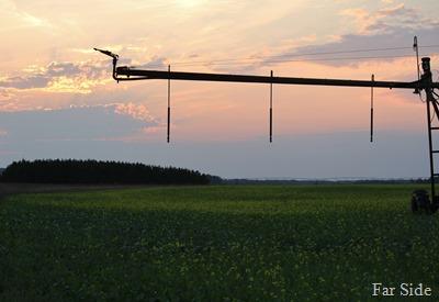 Mustard Field at sunset