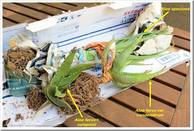 150820_aloes_from_Tony_Norris_003