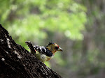Crested barbet (photo by Clare) - Kruger National Park