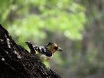 Crested barbet (photo by Clare) - Kruger National Park