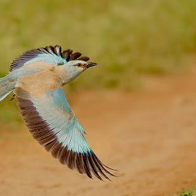 European Blue., by Srikanth Iyengar - Animals Birds ( roller, flight, european, srikanth, iyengar )