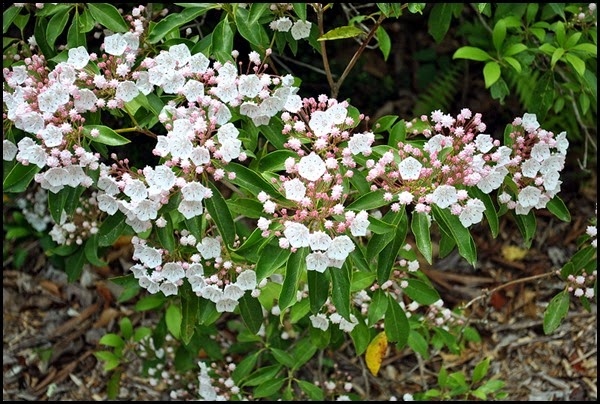04b - Mountain Laurel
