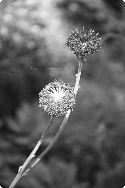 Cactus-flowers-(1bw)