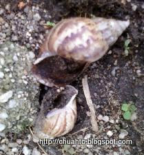Empty Snail Shells - What Is Killing Them?