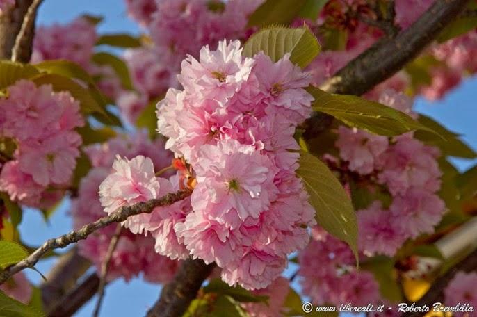 2015-04-15_Ciliegio giapponese-Prunus serrulata_Varenna-006 (FILEminimizer)
