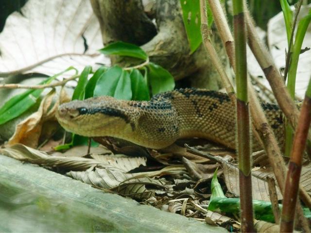 Bushmaster snake at Monteverde Herpatarium, Costa Rica
