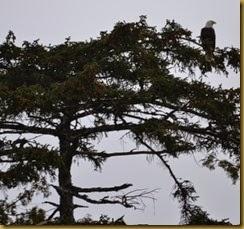 AK eagle 1A