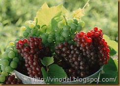 сохранить виноград свежим 2