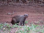 Banded mongoose (photo by Clare) - Kruger National Park